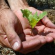 Sprout of oak in masculine hands — Stockfoto
