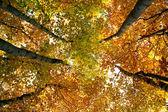 Autumn beech — Stock Photo