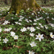 Stock Photo: Anemone (Anemone nemorosa)