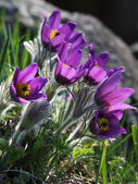 Pasqueflower (Pulsatilla vernalis) — Stock Photo