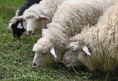 Sheep eat a grass — Stock Photo