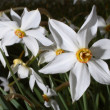 Narcissus (Narcissus) — Stock Photo