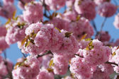 Sakura japanese cherry blossoms — Stock Photo