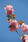 Sakura japanese cherry blossoms — Stock Photo