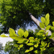 Beech (Fagus silvatica) — Stock Photo