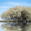 Cherry tree on blossom - Stock Photo