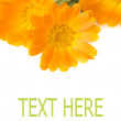 Calendula layout — Stock Photo