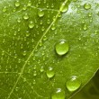 Bay tree leaf - Stock Photo
