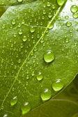 Bay tree leaf — Stock Photo