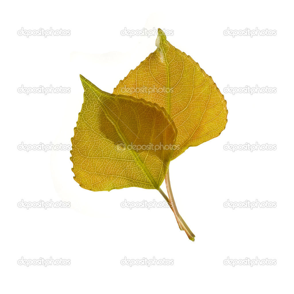 Green poplar leaf isolated — Stock Photo #1218598