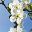 Branch in blossom — Foto de Stock