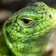Lizard in nature — Stock Photo