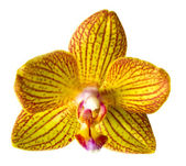 Orchid isolated — Stock Photo