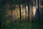 太阳光束通过树木 — 图库照片