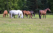 Herd of horses on a meadow — Stock Photo