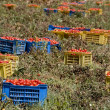 Stock Photo: Fresh tomatoes, collected in boxes