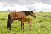 Horse and foal drinking milk — Stock Photo