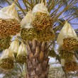 Date palm - Stock Photo