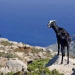 Постер, плакат: Mountain goats