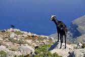 Mountain goats — Stock Photo