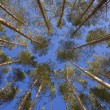 Shot looking up at a canopy of pine tree — Stock Photo