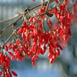 Winter barberry - Stock Photo
