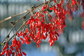 Winter barberry — Stock Photo