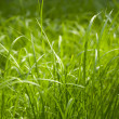 Green grass — Stock Photo #1145126