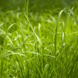 Green grass — Stock Photo #1239900