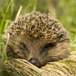 Hedgehog — Stock Photo #1239915