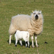 A sheep feeding its lamb. - Stock Photo