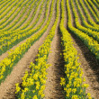 Rows of yellow spring daffodils — Stock Photo