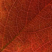 Red Virginia creeper leaf veins macro — Stock Photo