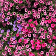 Lots of colorful petunia flowers. — Stock Photo