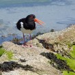 Oystercatcher with open beak. — Stock Photo #1933003