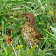 Baby Song Thrush hiding. — Stock Photo