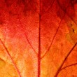 Close up of a red ivy leaf - Stock Photo