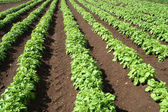 A field of green vegetable crops. — Stock Photo