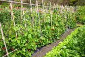 A vegetable garden. — Stock Photo