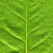 Green leaf from a rose plant. — Stock Photo