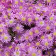 Pink ice plant flowers. — Stock Photo