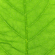 Vibrant green leaf macro. - Stock Photo