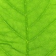Vibrant green leaf macro. — Stock Photo #2555629