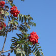 Colorful red berries on a tree. — Stock Photo