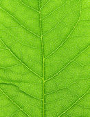 Vibrant green leaf macro. — Stock Photo