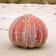 Colorful sea urchin (Echinus esculentus) — Stock Photo #2613997