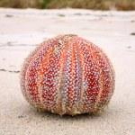 Colorful sea urchin (Echinus esculentus) — Stock Photo