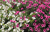 White and pink petunia flowers. — Stock Photo