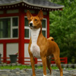 Royalty-Free Stock Photo: The Basenji