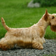 Scottish Terrier — Stock Photo #1141092